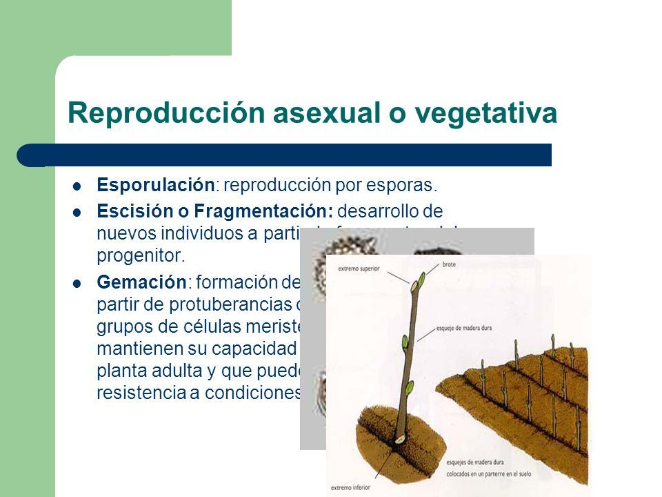 Reproduccion asexual escision wikipedia english