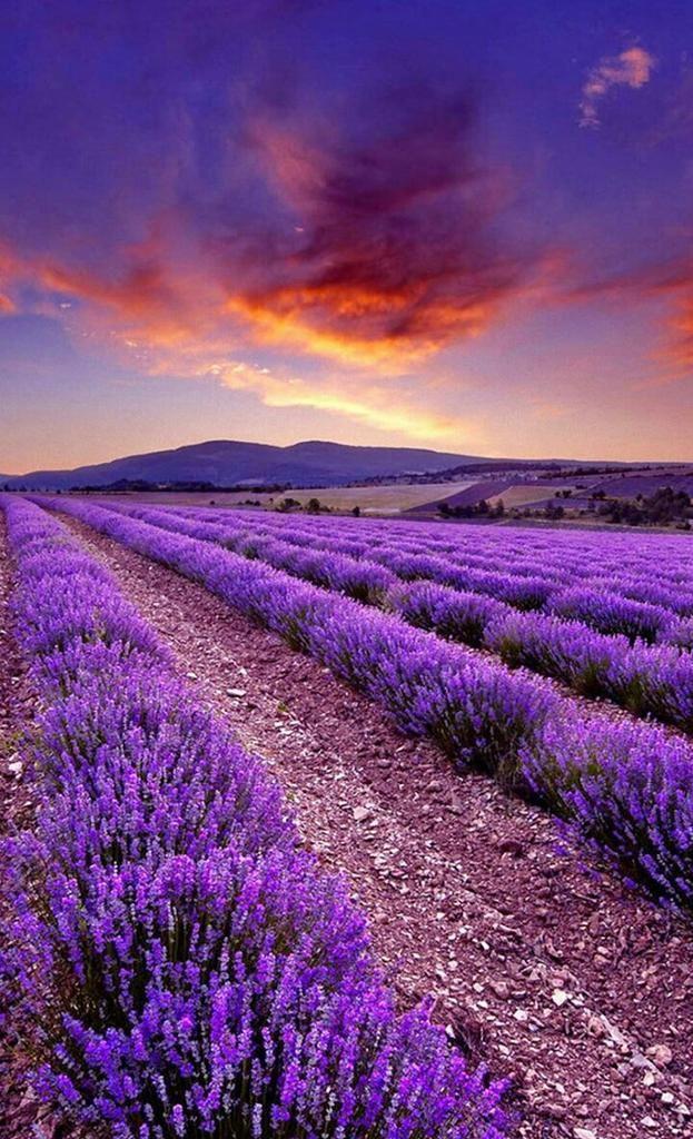Junko On Twitter Beautiful Nature Lavender Fields Beautiful Landscapes