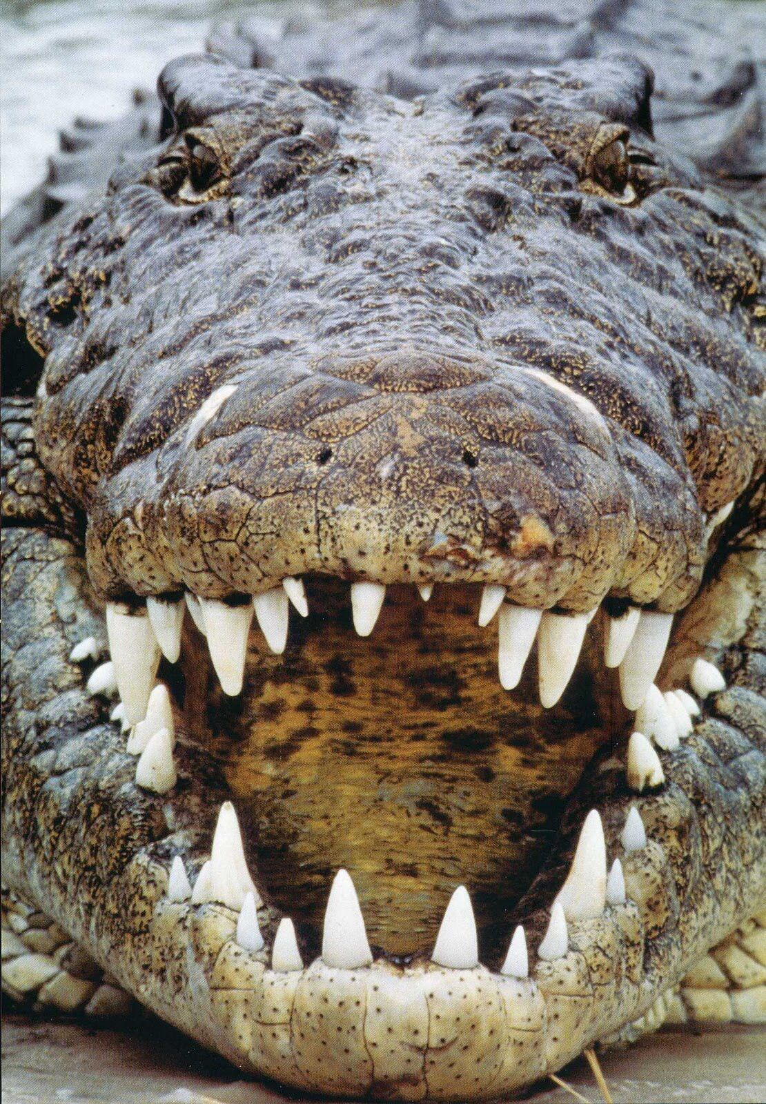 Le Crocodile Marin Crocodylus Porosus Ou Crocodile A Double
