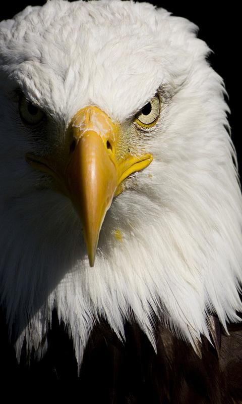 eagle wallpaper Google Search kartal eagle Pinterest