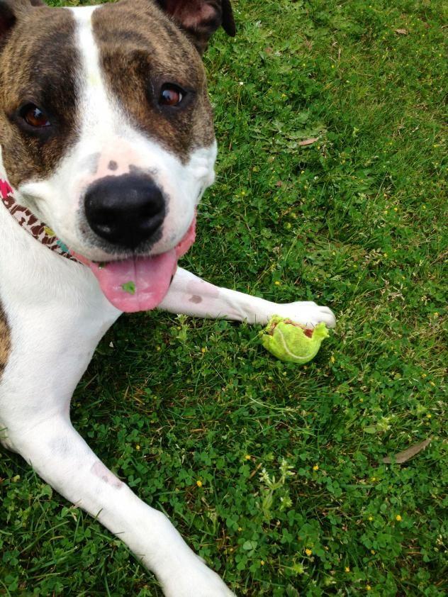 Adopt Hurley on Pitbull terrier, Bull terrier mix, Pet