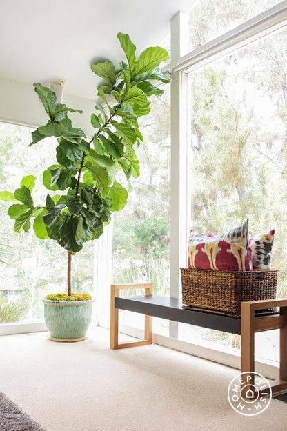 How To Care For Your Fiddle Leaf Fig Tree  Tips And Tricks For A Healthy