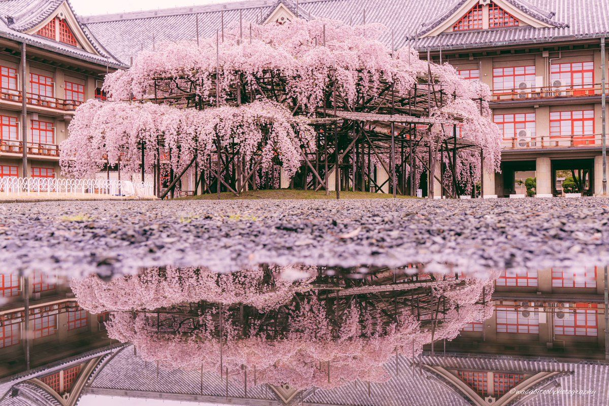 Wasabitool On Twitter Blossom House Weeping Cherry Tree Japan