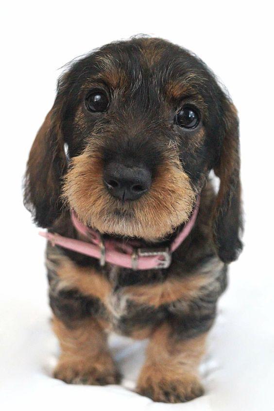 Wirehaired Dachshund Wirehaired Dachshund Puppy Dachshund Puppies Dachshund Dog