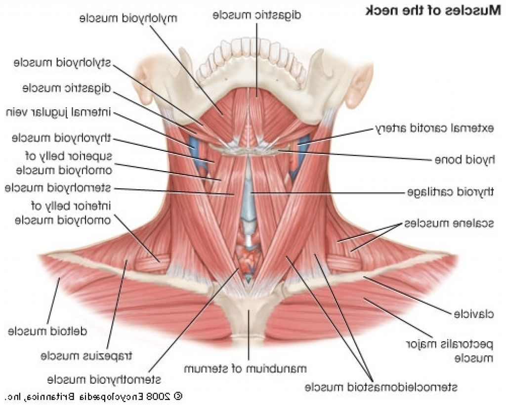 Human Neck Muscles Diagram Human Anatomy Drawing Anatomy Muscle