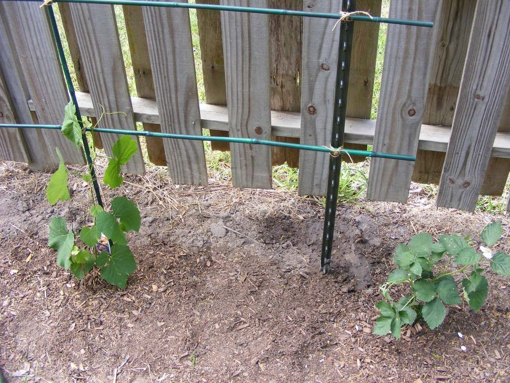 Grape Vine Trellis Photo: This Photo was uploaded by IceeQueenBeckie. Find  other Grape Vine