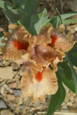 """Amusing,"" along with its interestingly subtle brown color, has a spicy fragrance"
