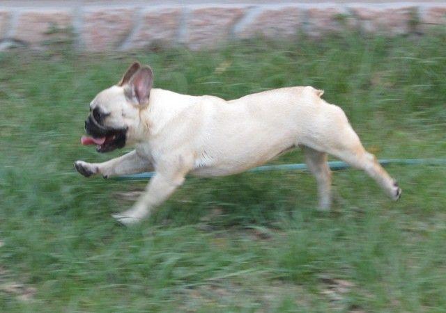 French Bulldog Puppies French Bulldog Breeders Akc Champion