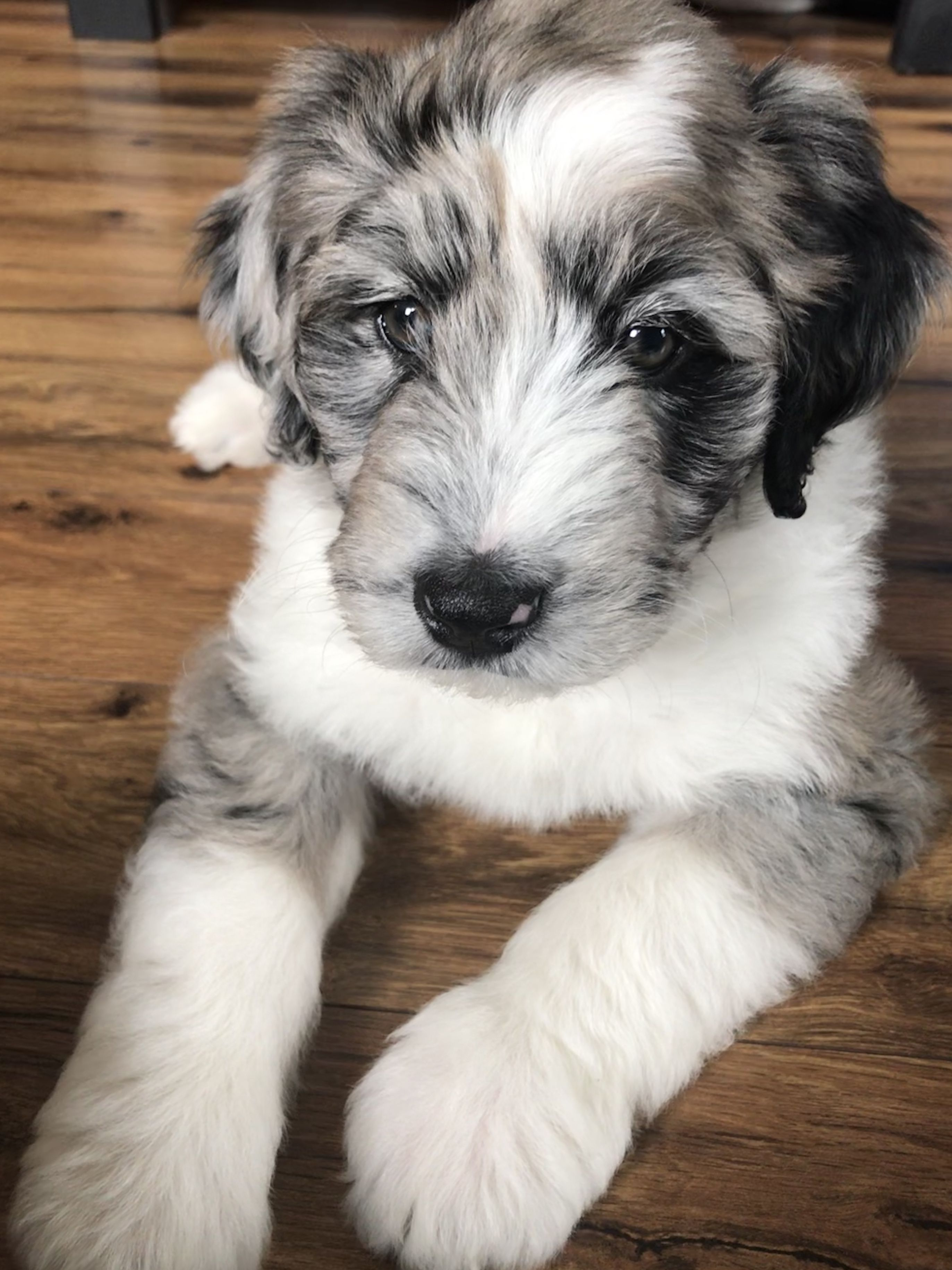 Puppy Love Aussiedoodle 9 Weeks Old Dog Lovers Puppies Puppy Paws