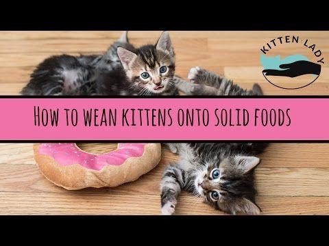 Weaning Kitten Lady With Images Feeding Kittens Baby Kittens Kitten Care