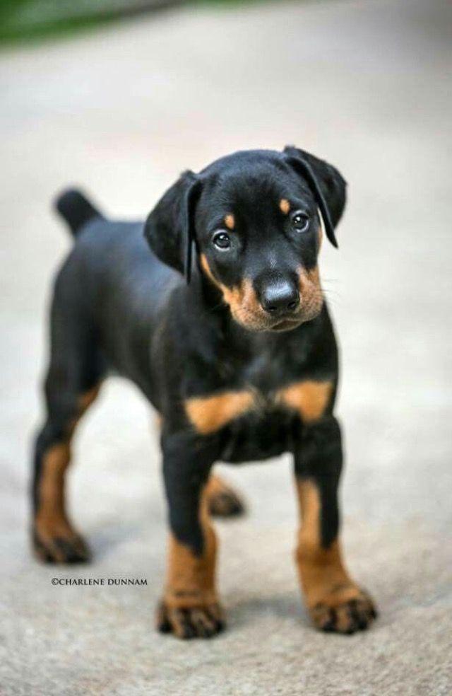 Oh My Goodness Doberman Puppy Doberman Pinscher Dog Doberman