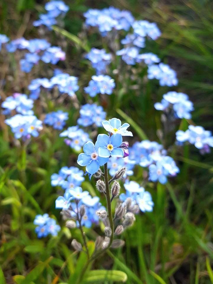 Alaskas state flower me nots flowers plants
