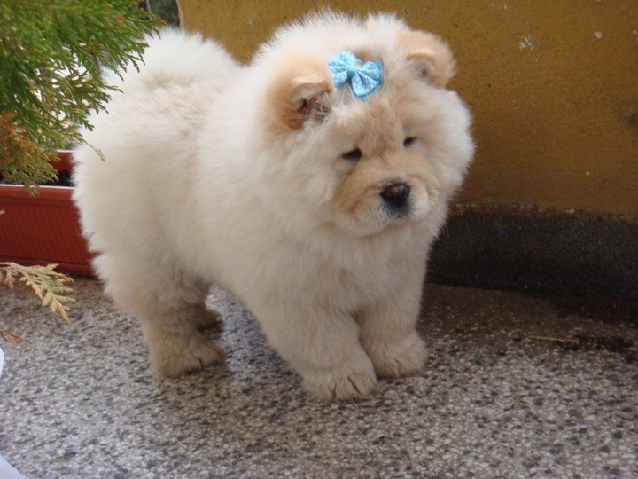 White Cute Chow Chow Puppy Wearing Blue Bow Cute Puppies Cute