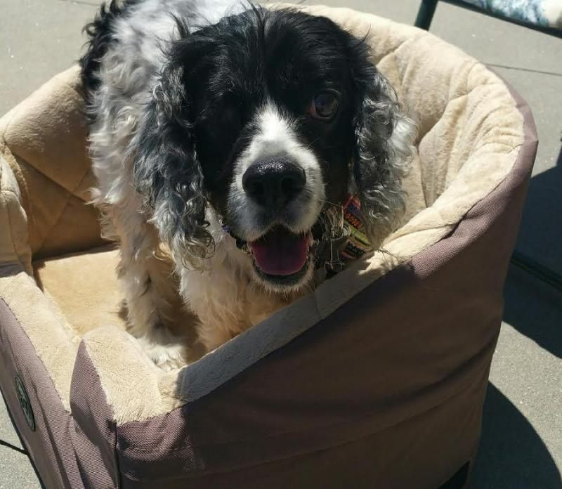 Becker is an adoptable Cocker Spaniel searching for a