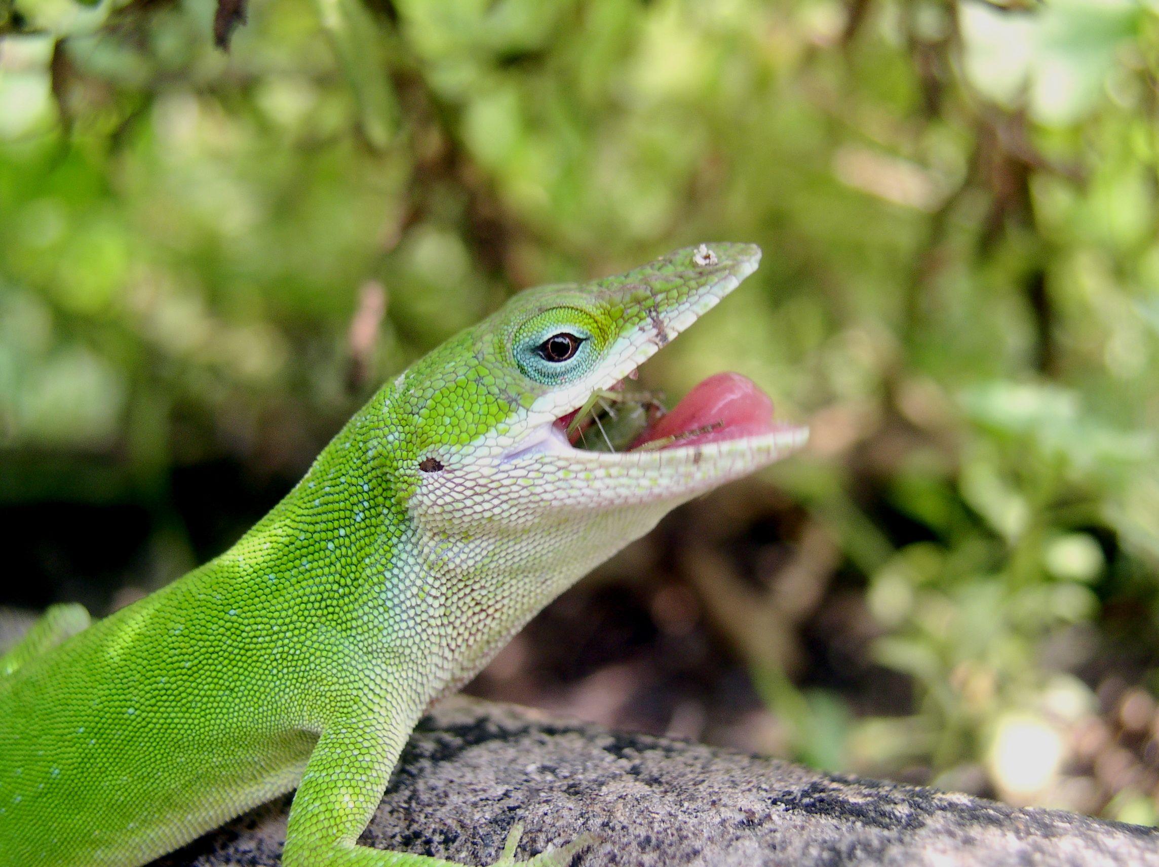 Eating 10397 Receitas Receta Recipe New Zealand Food Para Obtener Informacion Acceda A Nuestro Sitio Tourism Tour Lizard Anole Animals