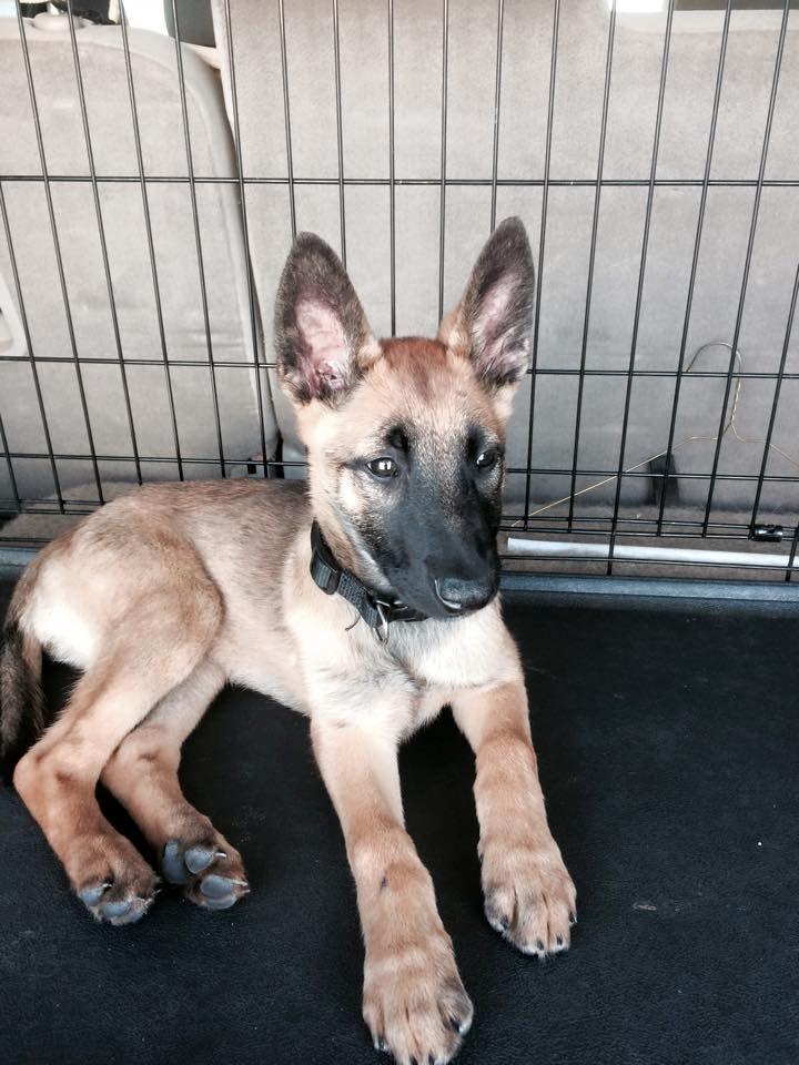 Belgian Malinois Rescue Adoption Malinois Puppies Belgian Malinois Belgian Malinois Dog