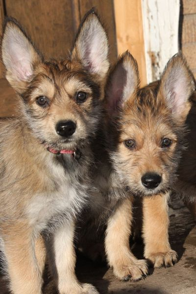 berger picard puppies
