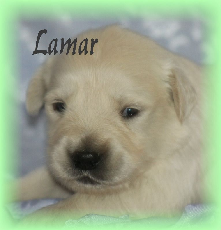 Litter Of 4 Golden Retriever Puppies For Sale In Stanley Wi Adn