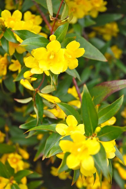 South Carolina State Flower Yellow Jessamine Carolina Jasmine