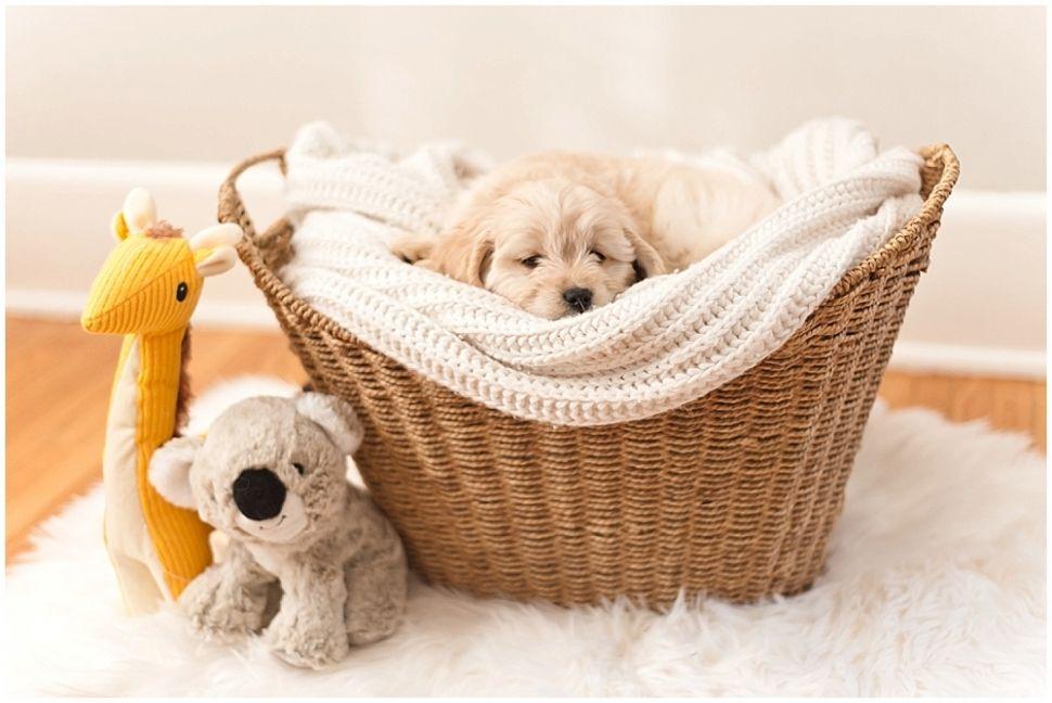 Winnie The Miniature Goldendoodle Chicago Pet Photographer