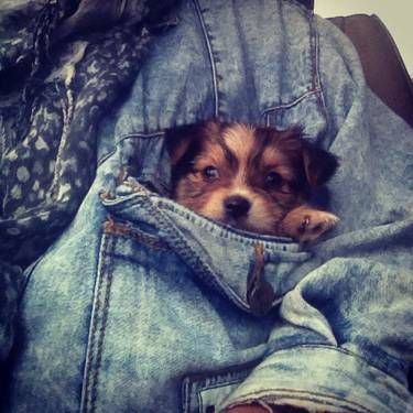 Pocket puppy.