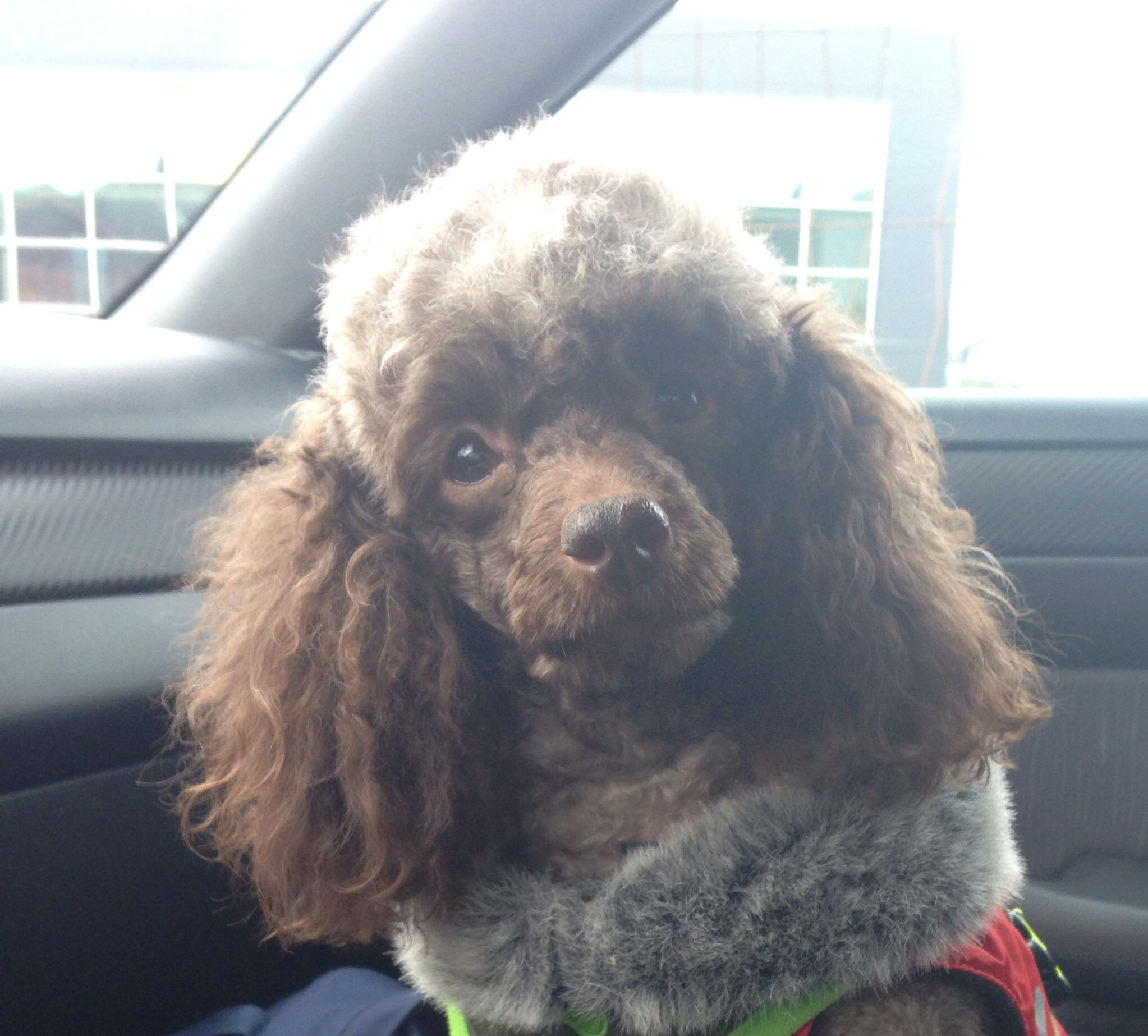 Pin by della sigler on SPOILED ole Topper Poodle, Best
