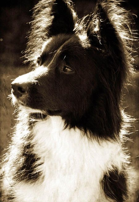 Scout The Border Collie Wow Just Beautiful Collie Border Collie World Cutest Dog