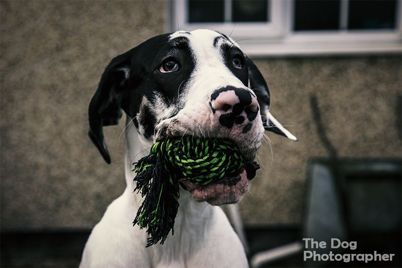 Pepper the harlequin great dane puppy who won second place