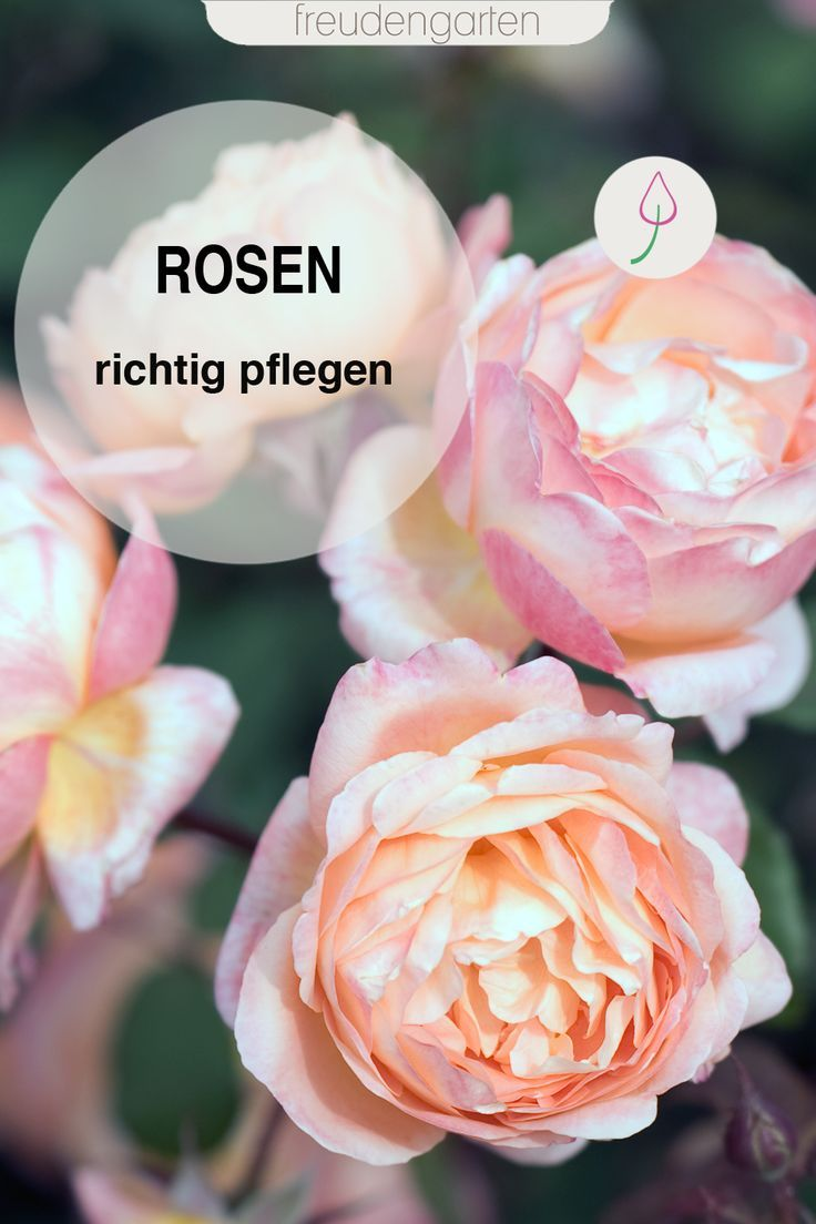 Rosen pflegen, düngen schneiden #pflegeleichtepflanzen