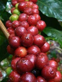 P1150073 OUR COFFEE  EL SALVADOR #elsalvadorfood