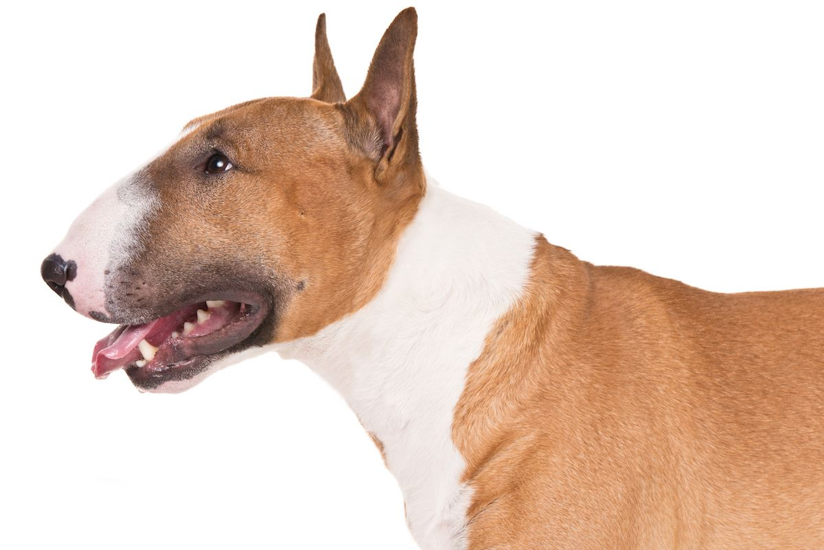 Miniature Bull Terrier Dog Breed Information Bull Terrier Dog