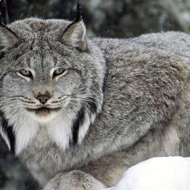 أفتراس On Instagram حيوان الوشق اوكما يطلق عليه الوشق الصحراوي هو احد انواع القطط البرية المتوسطة الحجم التي تعيش في Endangered Animals Canada Lynx Cool Cats