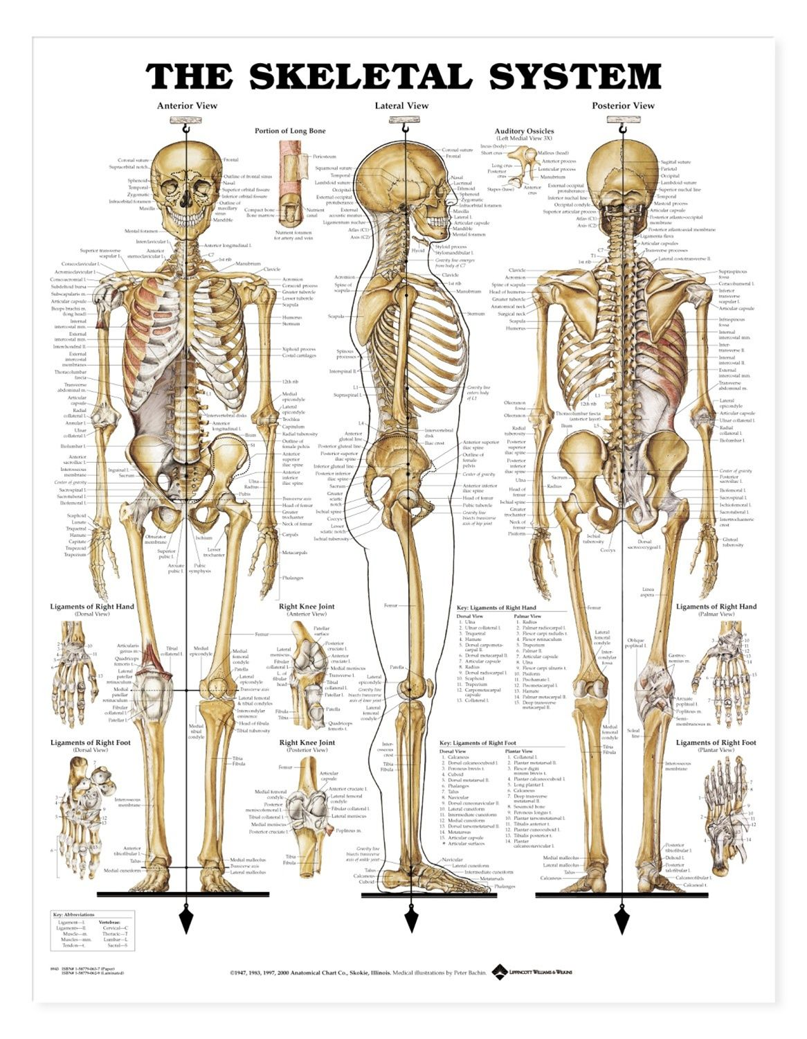 The Skeletal System Anatomical Chart / Poster - Laminated ...