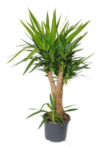 comment planter un yucca dans un pot