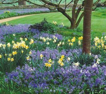 6 English Wood Hyacinth Danube Spanish Bluebell Adult