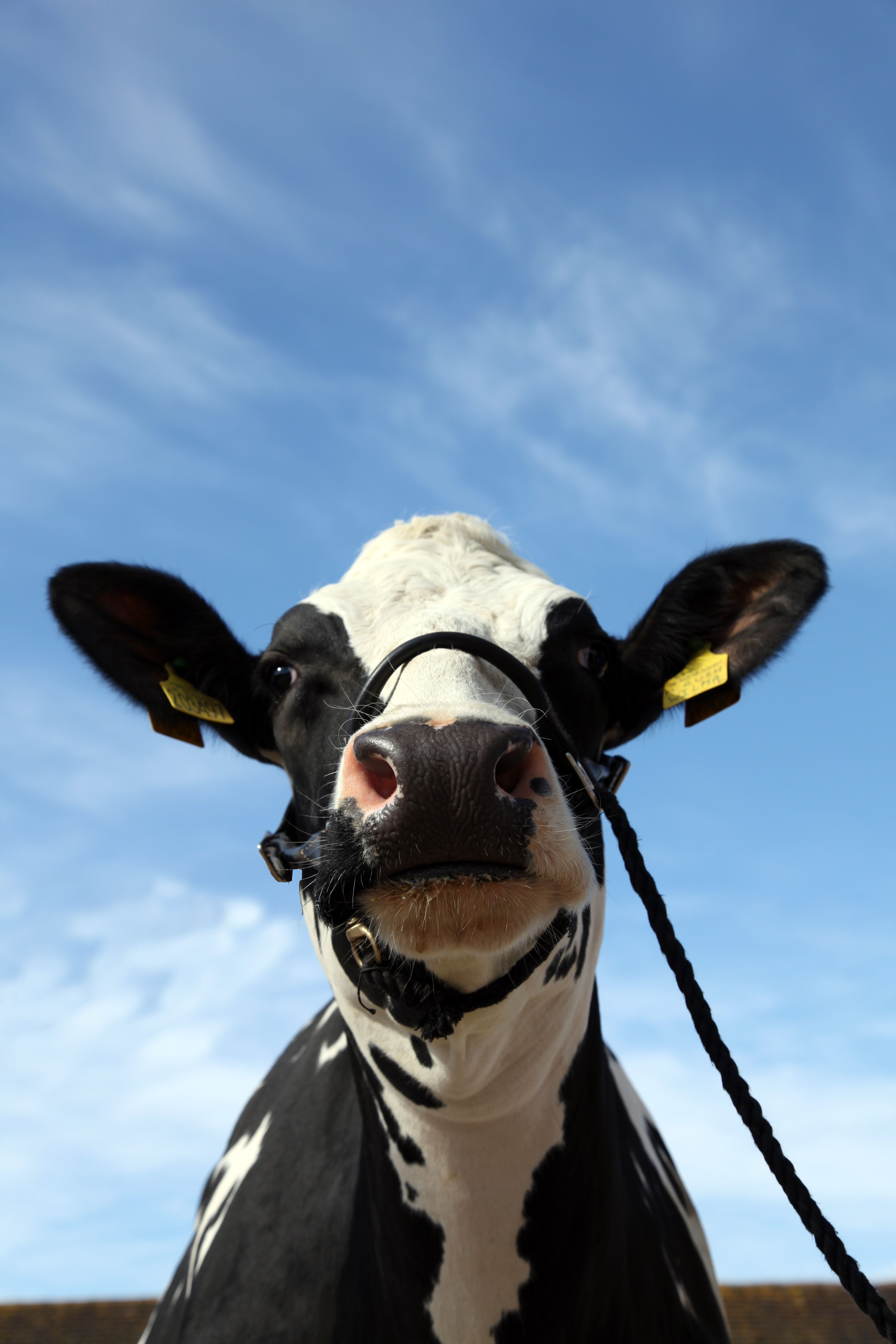 Mawley Rush Wilma, Mawley Holstein Holstein, Fresh milk