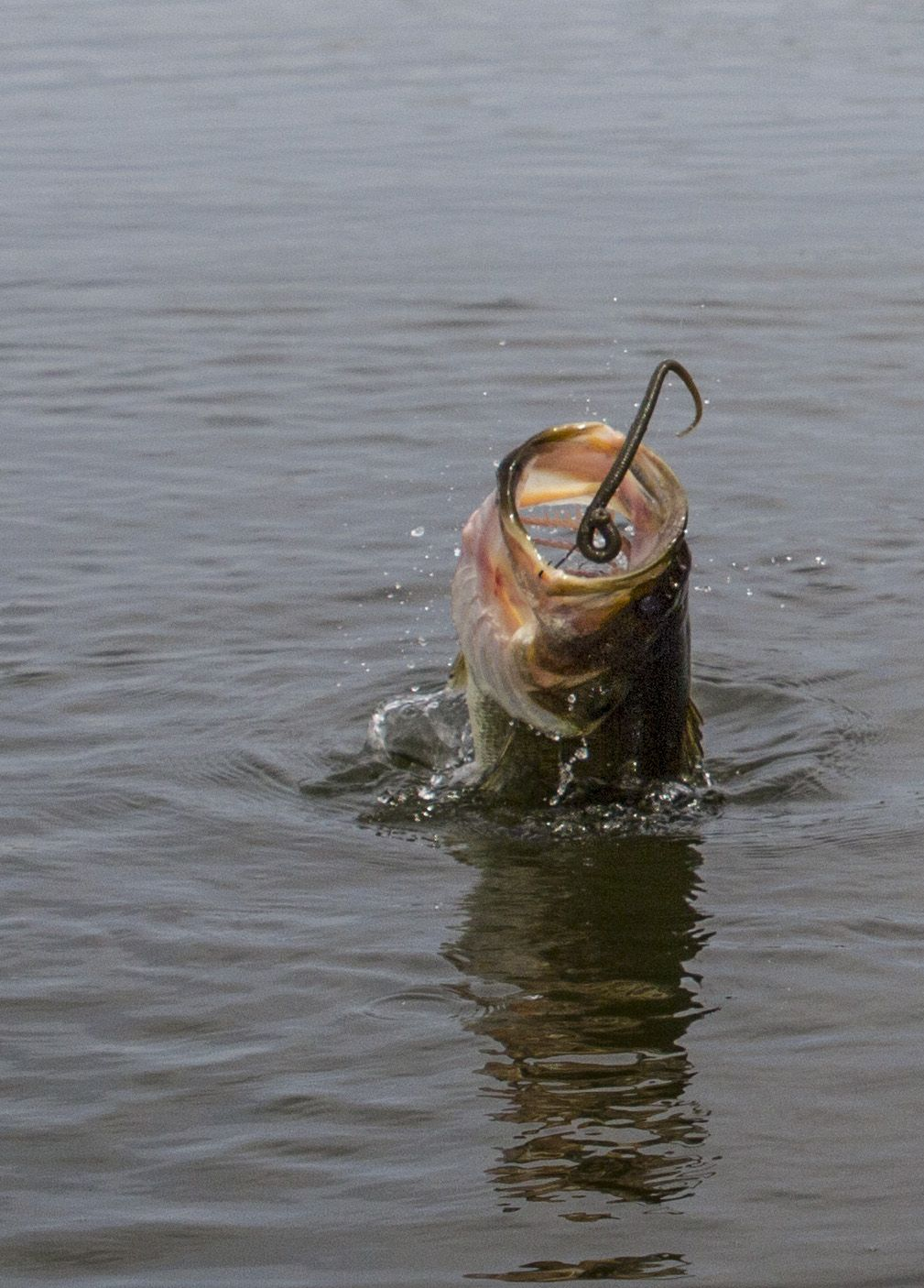 Big bass jumping with soft plastic worm in its mouth for Bass fishing with plastic worms