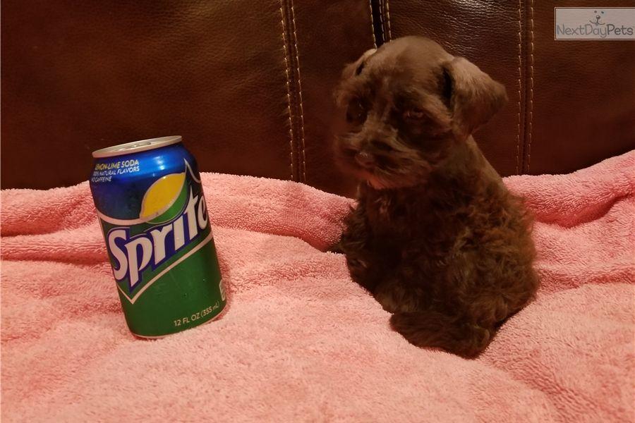 Coco Schnauzer Miniature Puppy For Sale Near Tyler East Tx Texas 695825b9 6411 Miniature Puppies Schnauzer Puppy Miniature Schnauzer Puppies