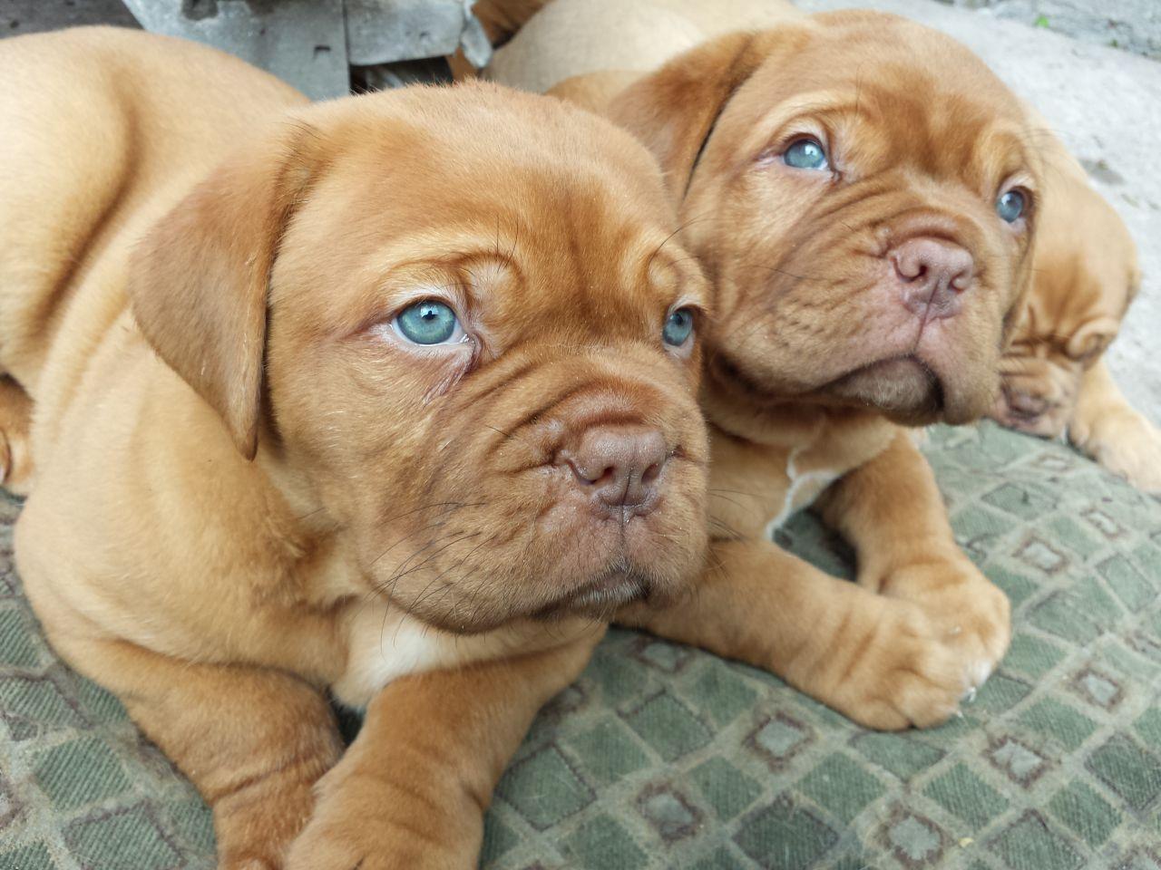 Dogue De Bordeaux Dog Info Temperament Puppies Training Pictures Bordeaux Dog Mastiff Dogs Worlds Cutest Animals