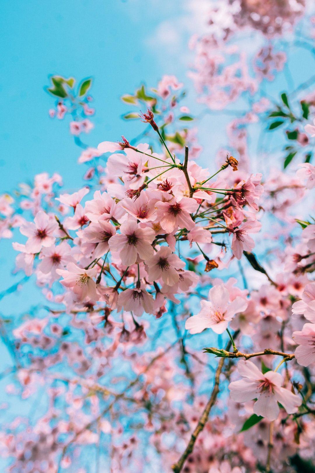 cherry blossom wallpaper free mobile Cherry blossom