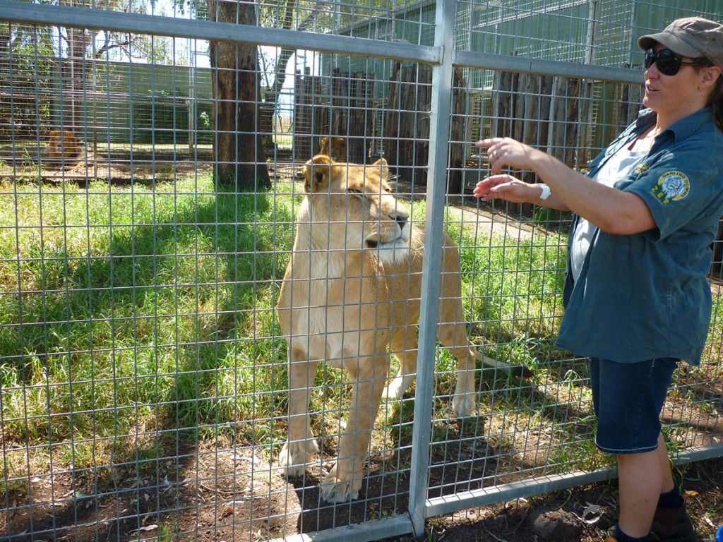 Get up close and personal with the big cats at Darling