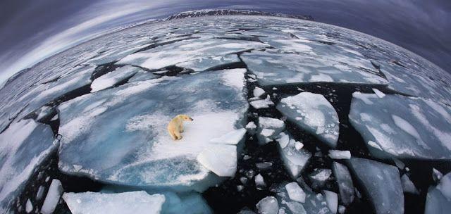 ALLPE Medio Ambiente Blog Medioambiente.org : Un oso perdido en el puzzle del hielo ártico
