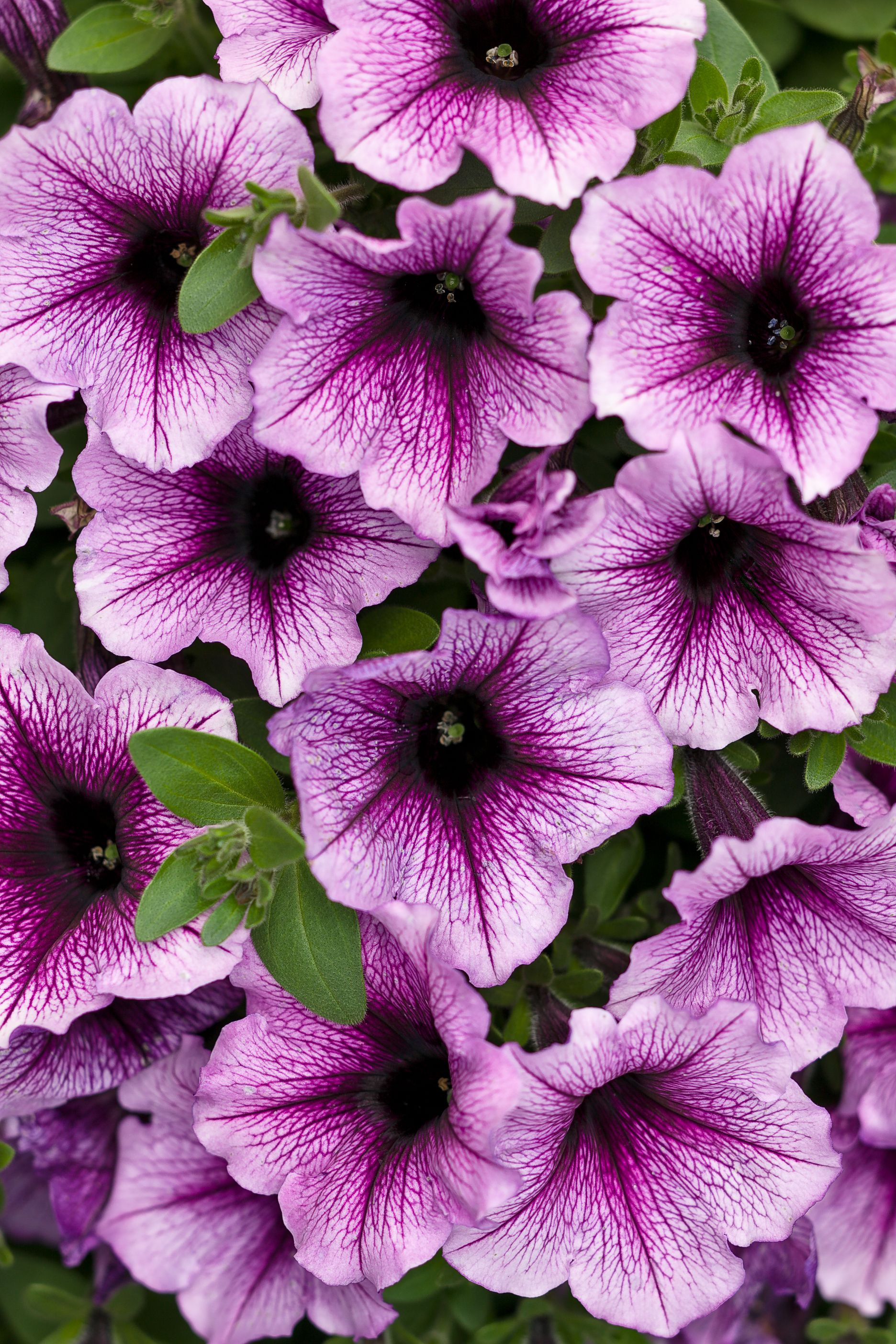 Pin By Debbie Story On Flowers Pinterest Petunias Plants And