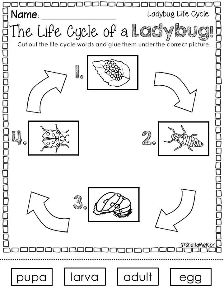 Life Cycle Of A Ladybug Life Cycles Kindergarten Science First