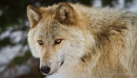 Image result for blonde wolf | Wolf photography, Wolf pup, Wolf photos