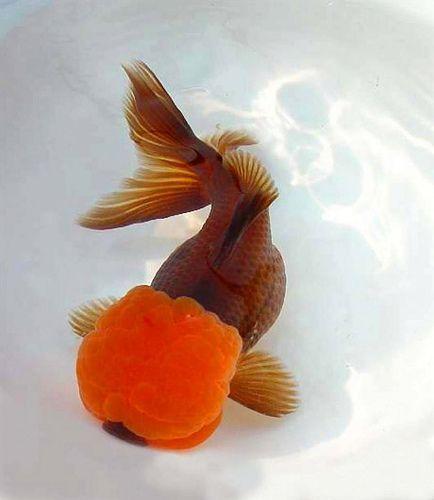Brown Oranda With Red Cap Oranda Goldfish Goldfish Colorful Fish