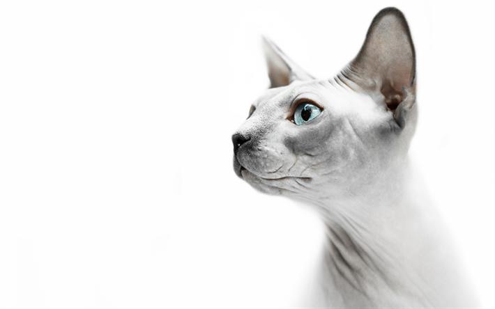 Hämta bilder Sphynx, 4k, katter, husdjur, rolig katt, Sphynx katt, Felis catus