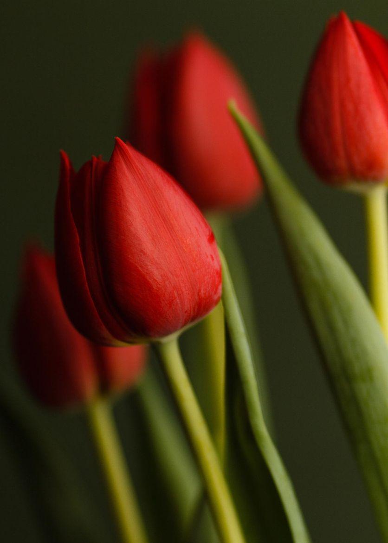 Tulips Tulips Amazing Flowers Flower Close Up