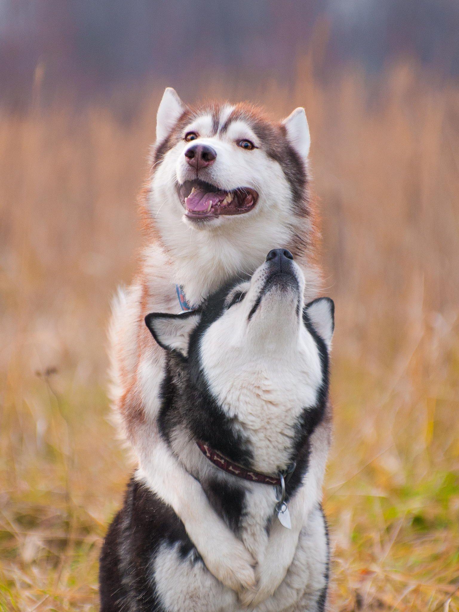 Untitled by Katerina Brusnika on 500px Siberian husky