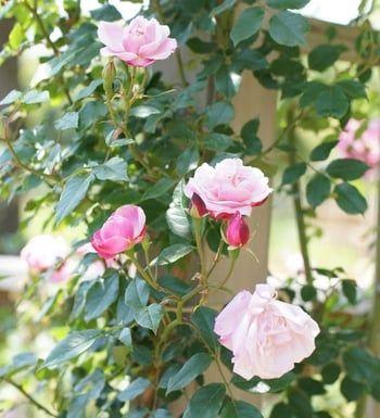 entretenir vos rosiers jardin jardins jardinage fleur. Black Bedroom Furniture Sets. Home Design Ideas